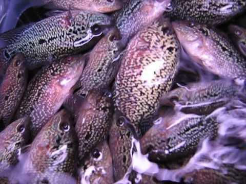 Cichlids 2 5 inch flowerhorn cichlid fish