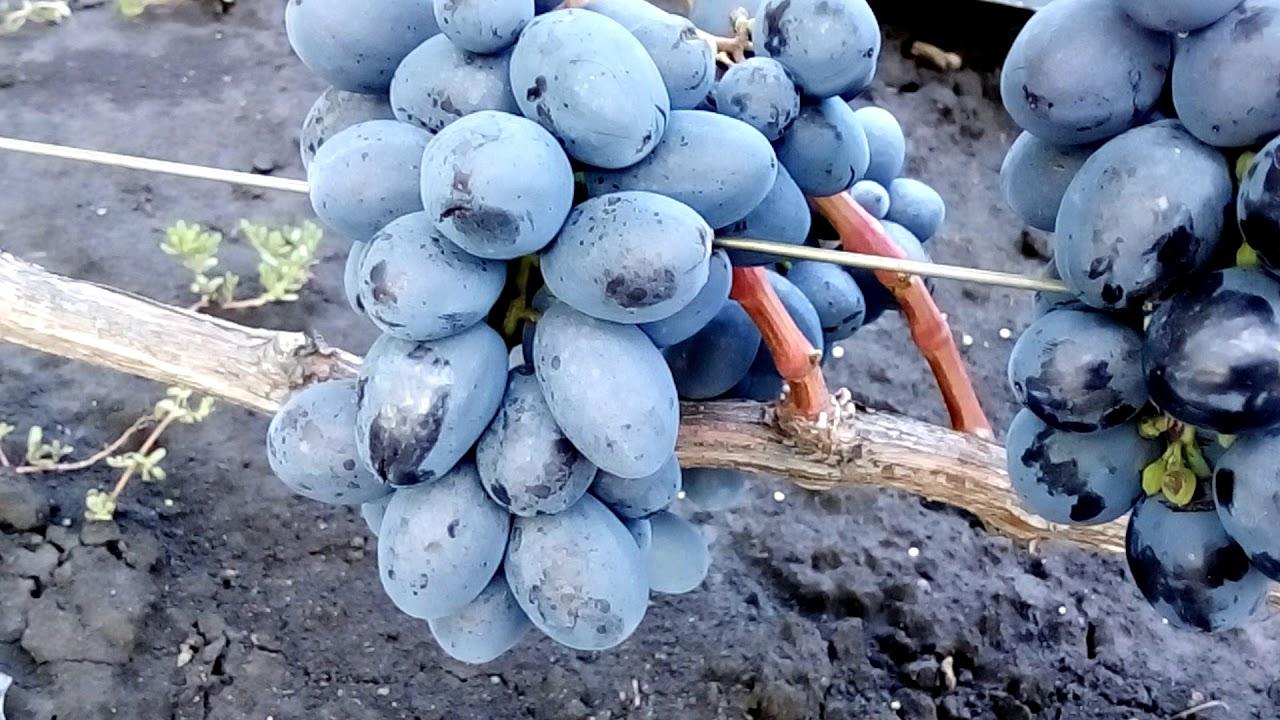 виноград руслан описание сорта фото ученых