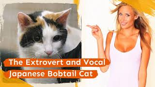 The Extrovert and Vocal Japanese Bobtail Cat
