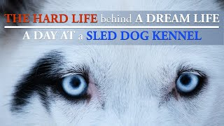 THE HARD LIFE behind A DREAM LIFE | A DAY OF LIFE at a SLED DOG KENNEL, Siberian huskies