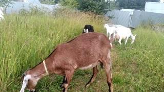 У какой козы молоко вкуснее.