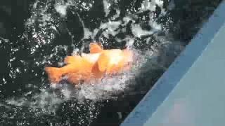 三崎港いわき丸アコウダイ釣り20170429