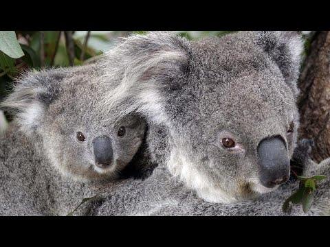 شاهد: حديقة حيوان سيدني تكشف النقاب عن أول رضيع كوالا ولد منذ أكثر من عام…  - نشر قبل 9 ساعة