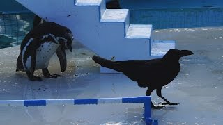 最近、ペンギンショーの時に、カラスが紛れこんできてペンギン達の魚を...