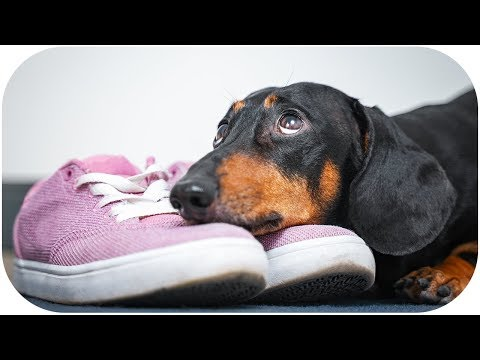 Please, stay with me today... Funny dachshund dog video!