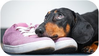 please-stay-with-me-today-funny-dachshund-dog-video