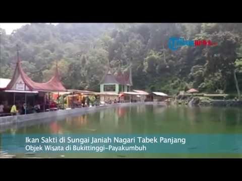 Asal Muasal Ikan Sakti di Sungai Janiah Nagari Tabek Panjang