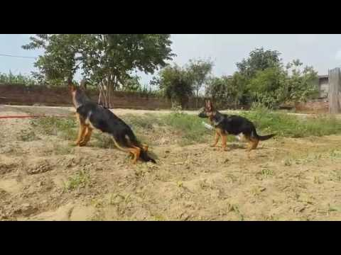 Dog Hi Dog For Sale In Delhi 9999039993 In India Online Olx Amazon