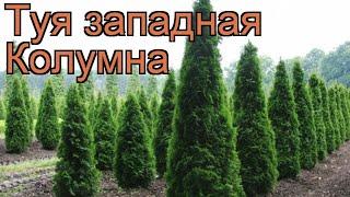 Туя западная Колумна (thuja occidentalis columna) ???? Колумна обзор: как сажать, саженцы туи Колумна