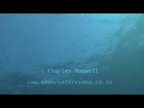 Mako & Blue sharks Filmed by Charles Maxwell