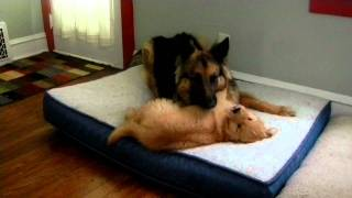 German Shepherd And Golden Retriever Puppy Playing