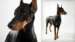 Doberman Pinscher: Training Impulse Control
