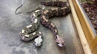 Beautiful But Deadly Vipers