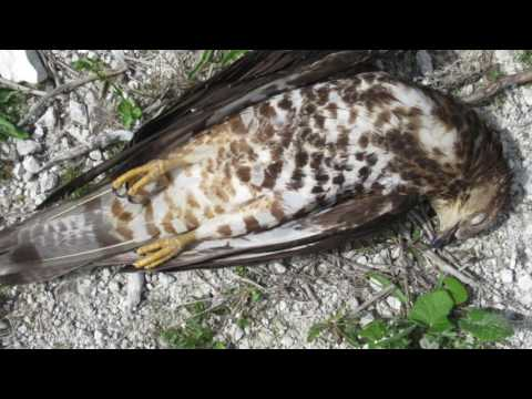 What to do if you find a dead bird of prey - YouTube