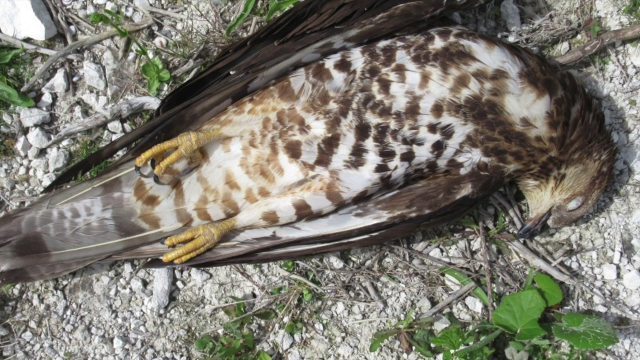What To Do If You Find A Dead Bird Of Prey Youtube