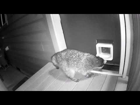 Cat Chases Raccoon Trying to Enter Through Cat Flap – 1012621