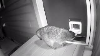 Cat Chases Raccoon Trying to Enter Through Cat Flap - 1012621