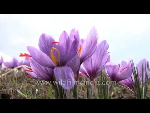 Cultivated Crocus sativus flowers' stamens yield saffron when dried
