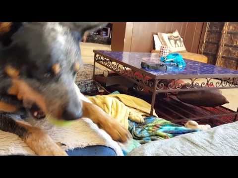 Australian Cattle Dog, Gus, plays ball by himself.
