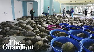 Thousands of 'cold-stunned' sea turtles rescued from freezing waters in Texas