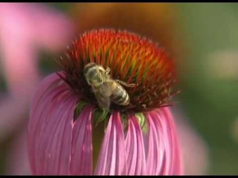 видео: Эхинацея в саду