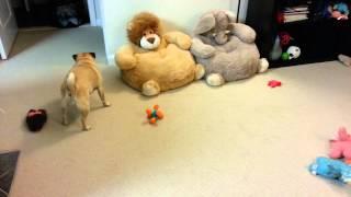 Pug Zoomies!