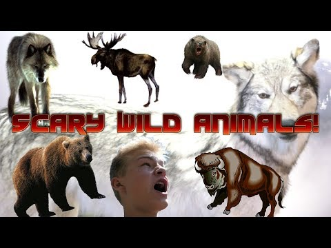 Vlogging! | Wild Animals!  Yellowstone National Park!