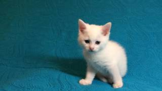 Глухой котенок Морозко 1 месяц от роду