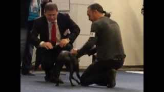 The first international show of our 1 year old Peruvian hairless ( ...