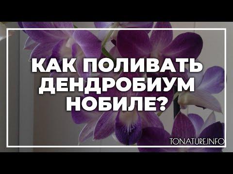 Как поливать дендробиум нобиле?   toNature.Info
