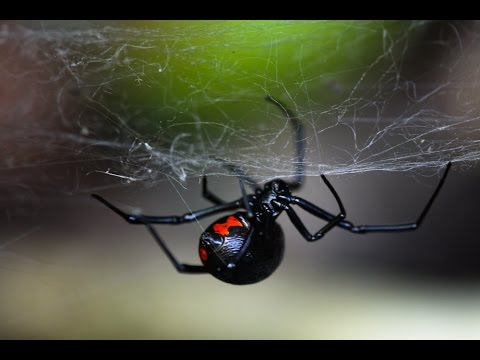 Паук Черная вдова (лат. Latrodectus mactans)