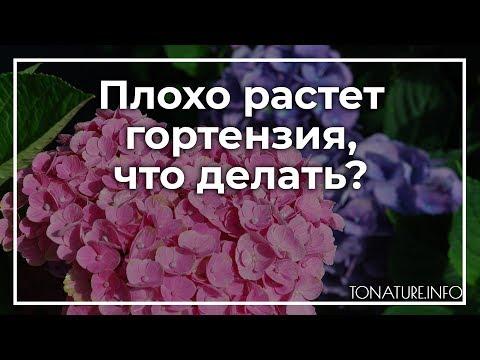 Плохо растет гортензия, что делать? | toNature.Info