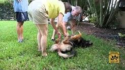 GSD Rescue of SOUTHWEST FLORIDA  WWW.SWFLGSDRESCUE.COM