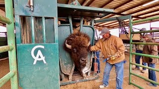 Behind the Scenes of a West Texas Bison Ranch and Texas Size Bulls!