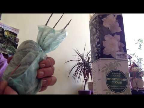 Жасмин садовый (чубушник) Воздушный десант (Земляничный)
