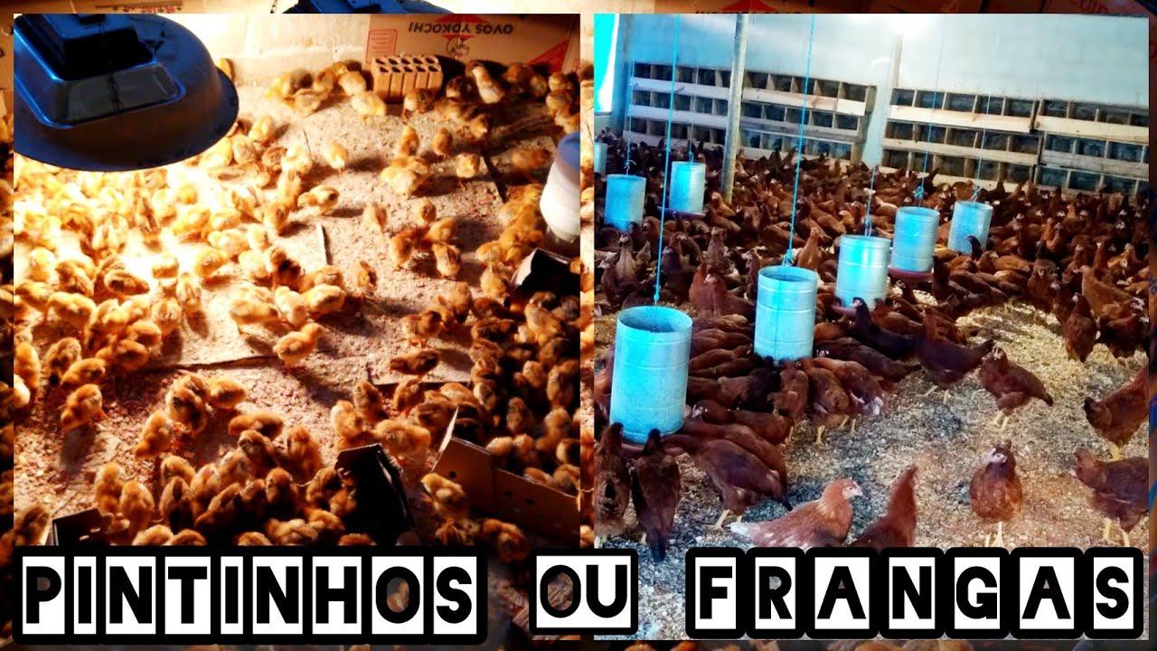 Pintinhos ou frangas? Qual a melhor opção para iniciar uma criação de galinhas caipiras?