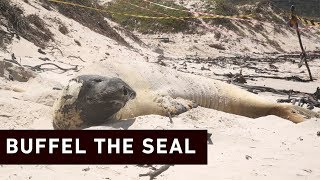 A southern elephant seal who's made himself at home in Fish Hoek Beach could be here for another few weeks. Buffel will remain on the beach while he molts.  Click here to subscribe to Eyewitness news: http://bit.ly/EWNSubscribe  Like and follow us on: http://bit.ly/ EWNFacebookAND https://twitter.com/ewnupdates  Read full article on Eyewitness news: https://ewn.co.za/2019/02/04/buffel-the-seal-could-remain-on-fish-hoek-beach-for-another-few-weeks   Keep up to date with all your local and international news: www.ewn.co.za    Produced by: Bertram Malgas