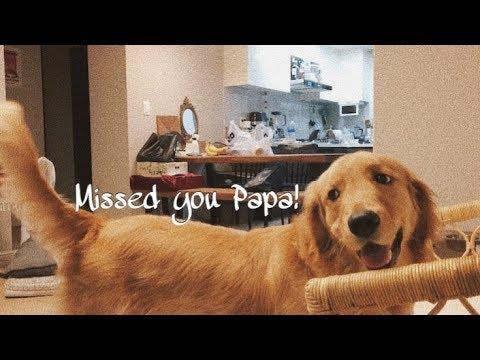 아빠 퇴근만 기다리는 강아지 | 골든리트리버 보리