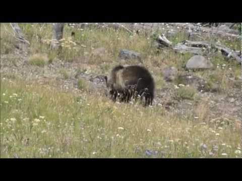 Yellowstone Grizzly Bear Mother and Cubs