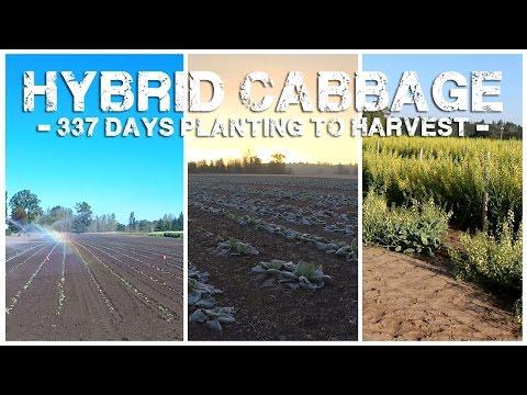 Hybrid Cabbage - 337 Days Planting to Harvest