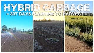 Hybrid Cabbage - 337 Days Planting to Harvest