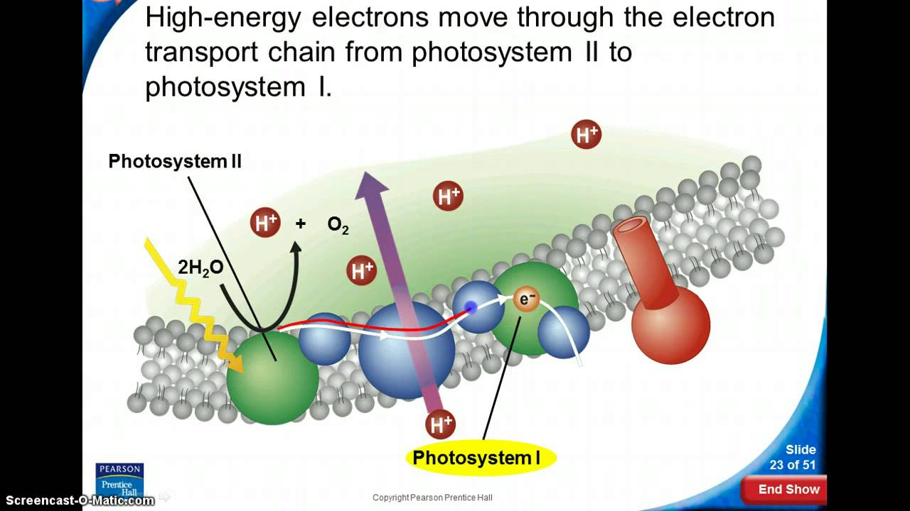 Light Reactions What Are Dependent