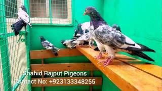 MA SHA ALLAH 💕👍💕 Royal Teddy پیارے بھائیوں یہ میرے پرندوں کی Video اچھی لگی ہے تو لائک اور کمینٹ