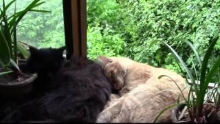 Наши коты. Сиеста после дождя.