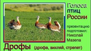 Дрофы. Голоса птиц России