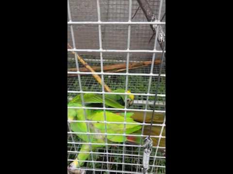 Breeding couple amazon parrot