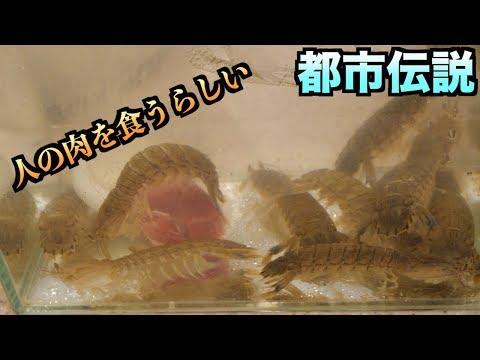 【都市伝説】シャコが人間の水死体をどうやって食べてるのかわかる動画