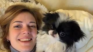 Собака-бесяка. Японский хин