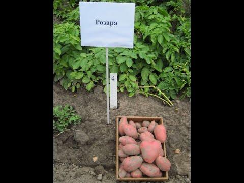 Картофель Гала отзывы Описание сорта, фото