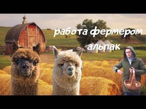 Ферма альпак. Фермер из города. Московские альпака